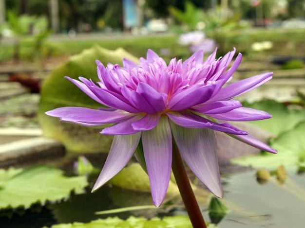 Belo lírio de água e folhas verdes