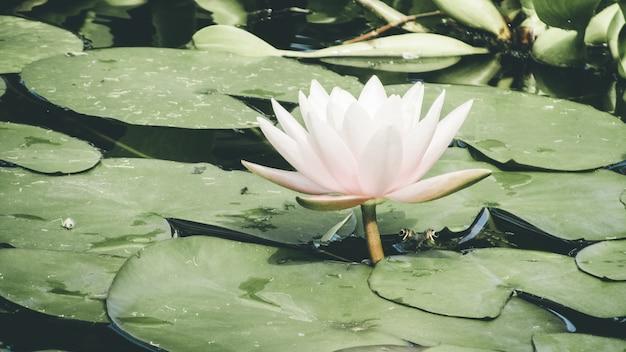 Belo lírio-de-rosa e folhas verdes em um rio no parque