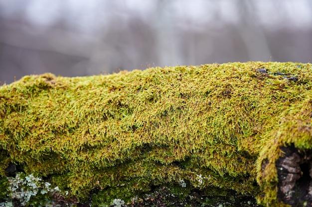 Belo musgo verde brilhante cobrindo o tronco de árvore na floresta. madeira cheia de textura de musgo na natureza para papel de parede. close up, visão macro.