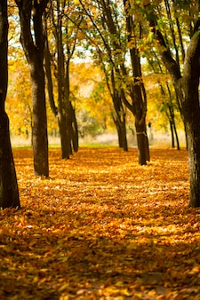Belo parque de outono. natureza pitoresca, árvores douradas nos raios do sol.