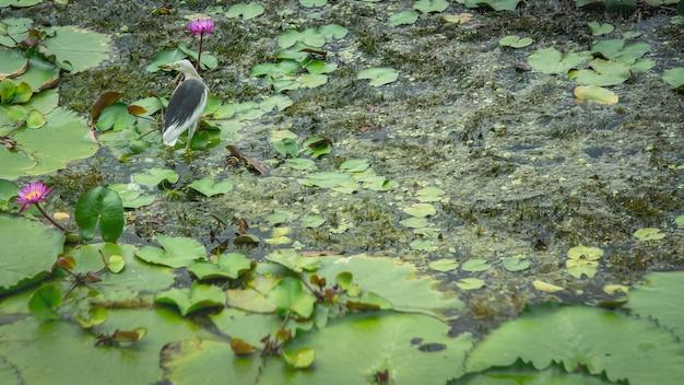 Belo pássaro em pé no lótus, lotus no lago de lótus