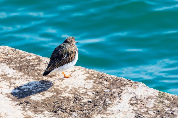 Belo pássaro (gaivota) olhando para o mar. ruddy turnstone (arenaria interpres, turnstone).