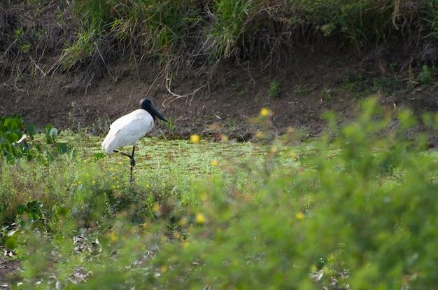 Belo pássaro tuiuiu no pantanal brasileiro