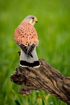 Belo perfil de um francelho na natureza