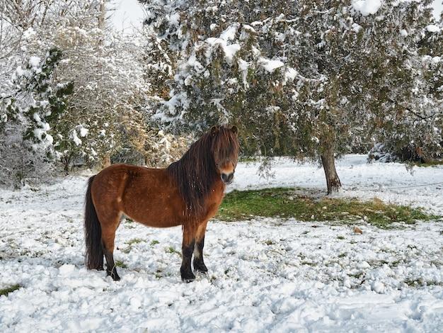 Belo pônei vermelho pasta em um parque coberto de neve de inverno suburbano após uma queda de neve.