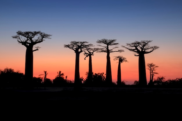 Belo pôr do sol baobab alley. madagáscar. áfrica