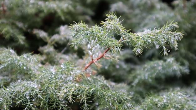 Belo ramo de abeto com orvalho. árvore de natal na natureza. close-up de abeto vermelho verde. agulhas de pinheiro com gotas de orvalho sobre elas.
