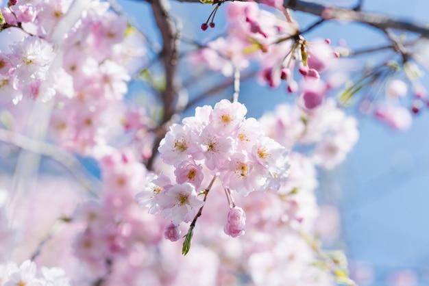 Belo ramo elegante de cerejeiras decorativas