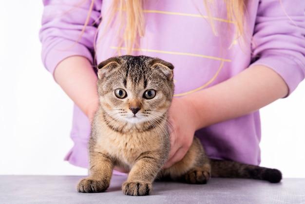 Belo retrato de gato malhado de prata scottish fold com seu proprietário