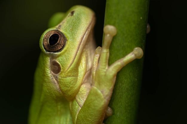 Belo retrato de perereca verde em uma folha com lindos olhos dourados e fundo preto