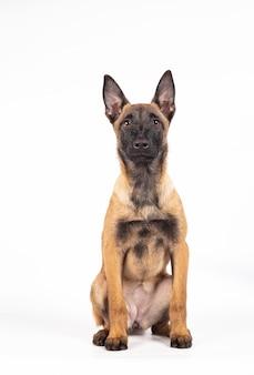 Belo retrato de um cachorro da raça pastor belga malinois, sentado sobre um fundo branco.