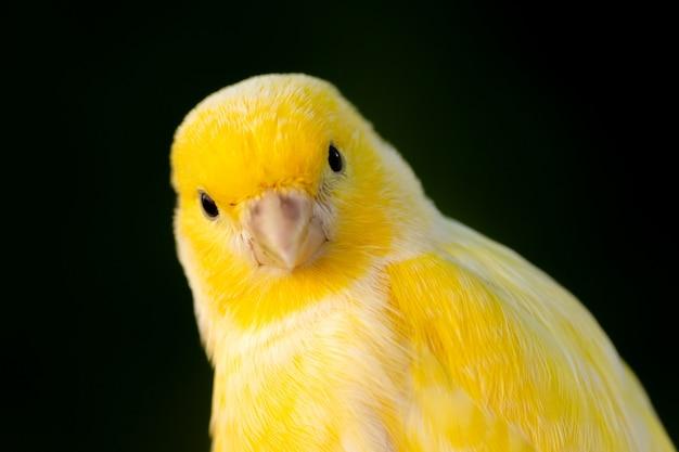 Belo retrato de um canário amarelo