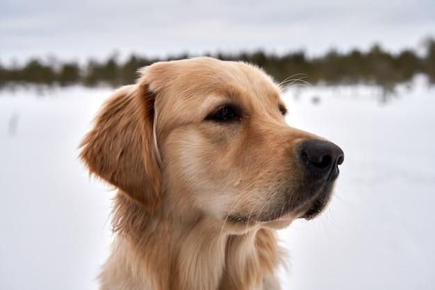 Belo retrato de um golden retriever no parque