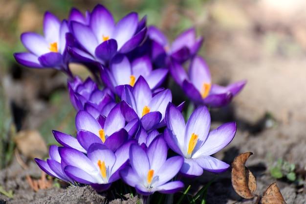 Belos açafrões nascem primeiro em forma de cebola. grupo de flores roxas desabrochando