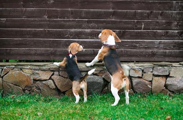 Belos cães beagle