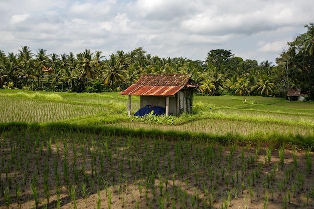 Belos campos de arroz em bali, indonésia.