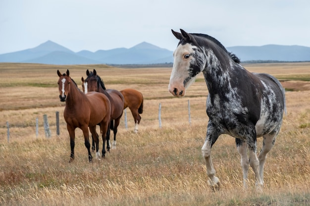 Belos cavalos em uma fazenda no sul da patagônia. argentina.