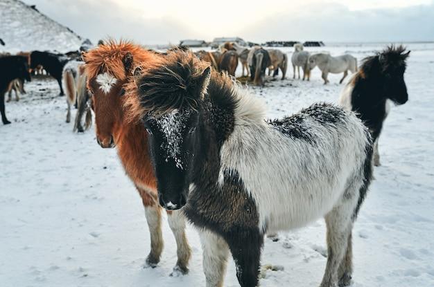 Belos cavalos pastando em pastagens cobertas de neve perto das montanhas.