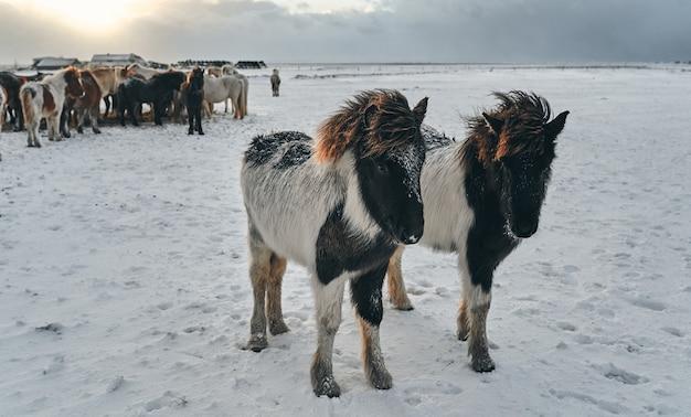 Belos cavalos pastando em pastagens cobertas de neve.