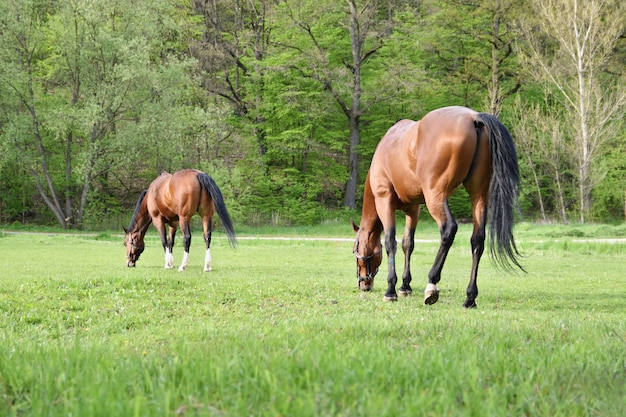 Belos cavalos pastando livremente na natureza.