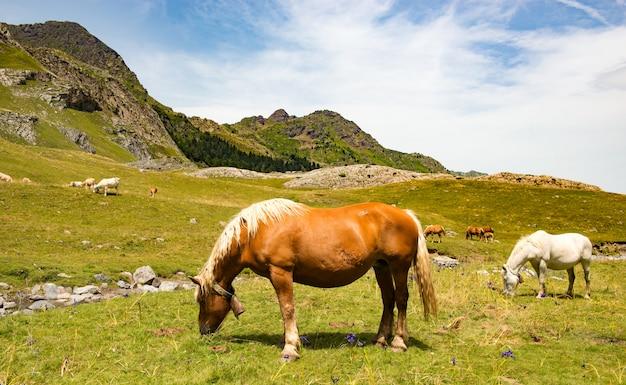 Belos cavalos pastando nas pastagens alpinas