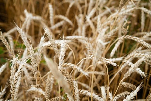 Belos espigas de campo de trigo amarelo close-up foco suave