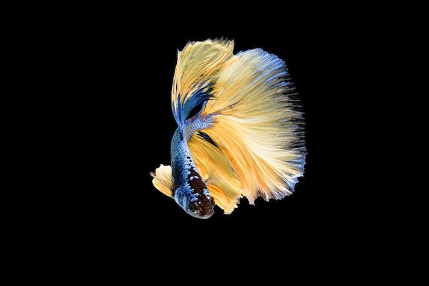 Belos esplendens de betta azul e amarelo, peixe lutador siamês ou pla-kad em peixes populares tailandeses em aquário