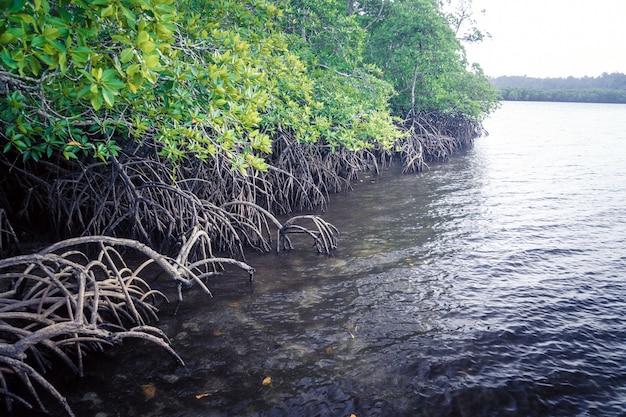 Belos manguezais mayaro trinidad. raízes de mangue com água. selva impenetrável