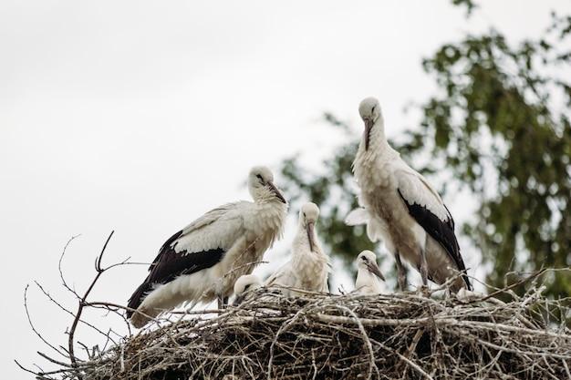 Belos pássaros cegonhas no ninho