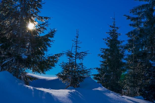 Belos pinheiros delgados crescem entre montes de neve coberta de neve com fundo azul escuro