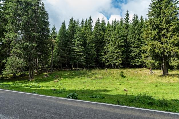 Belos pinheiros sempre-verdes