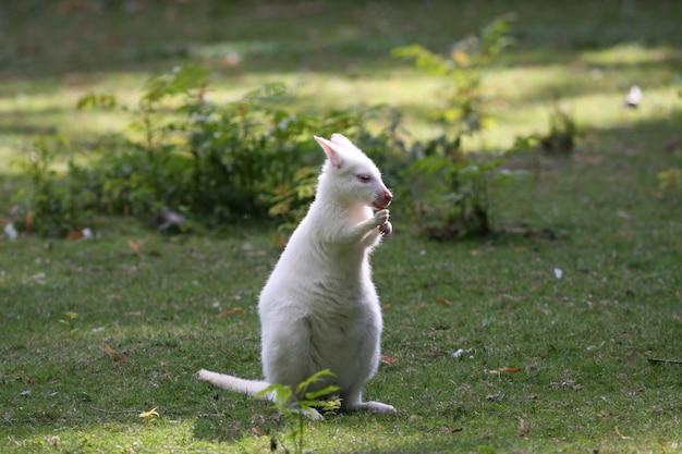 Bennett wallaby, canguru em um zoológico na frança