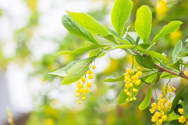 Berberis vulgar, simplesmente bérberis flores amarelas. cluster de botões na florescência barberry comum ou europeu na primavera