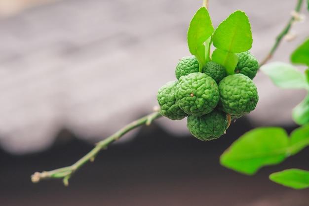 Bergamota fresca na árvore no jardim da natureza.