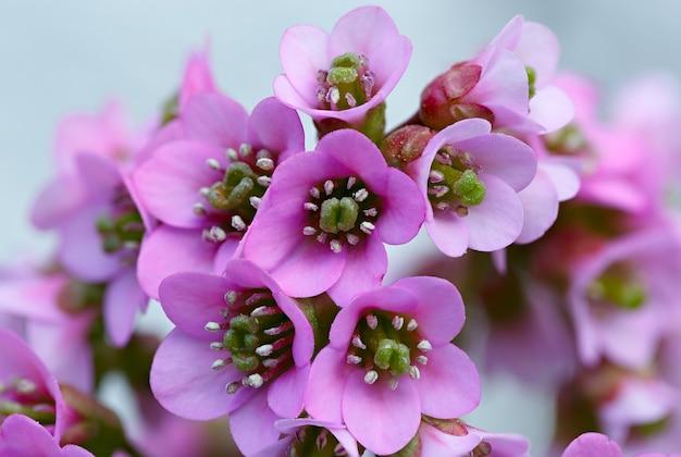 Bergenia em um canteiro de flores no jardim