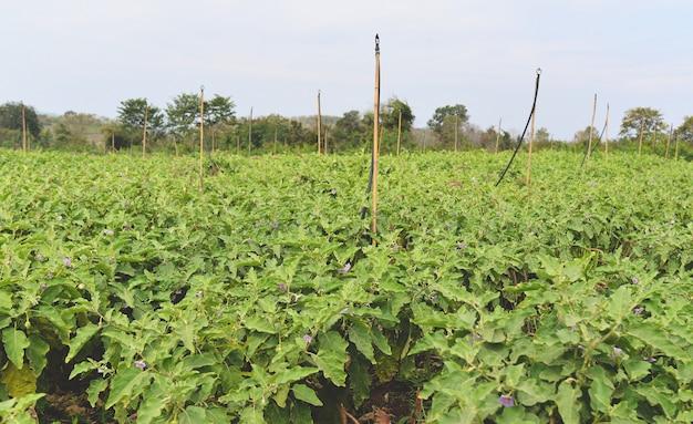 Berinjela, crescendo, em, a, fazenda, agricultura, beringelas, campo, jardim, vegetal