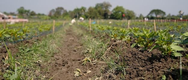Berinjela crescendo no campo do agricultor em um dia ensolarado.