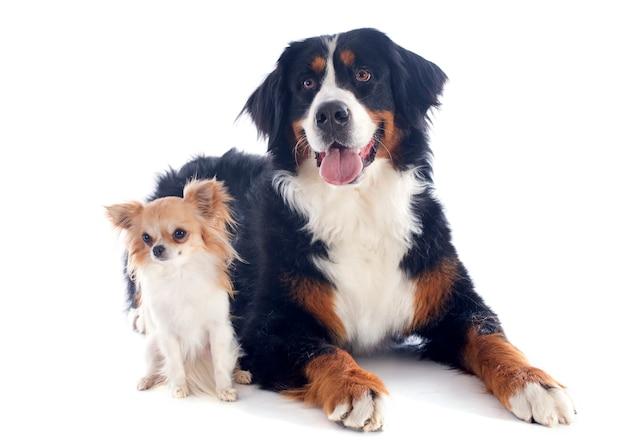 Bernese moutain cão e chihuahua