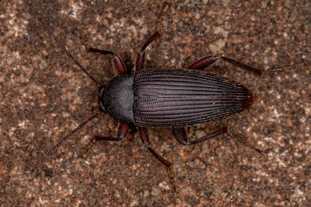 Besouro darkling adulto com garras em pente da tribo alleculini
