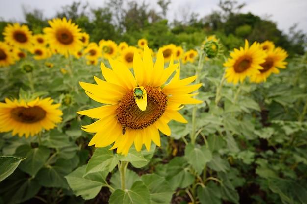 Besouro de bronze e abelha em um girassol