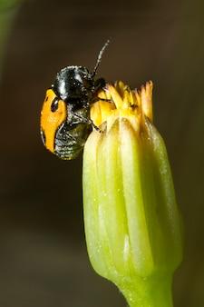 Besouro de folha (lachnaia paradoxa)