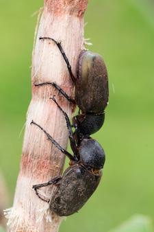 Besouro de veado na árvore.