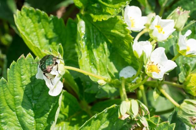 Besouro em uma flor de morango