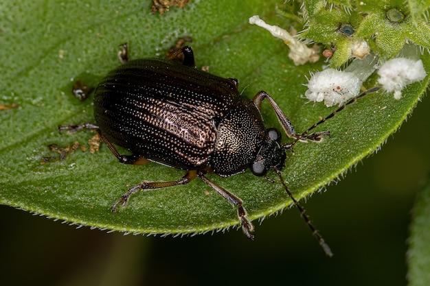 Besouro folha adulto da subfamília eumolpinae
