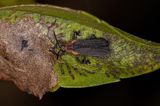 Besouro folha adulto da tribo chalepini