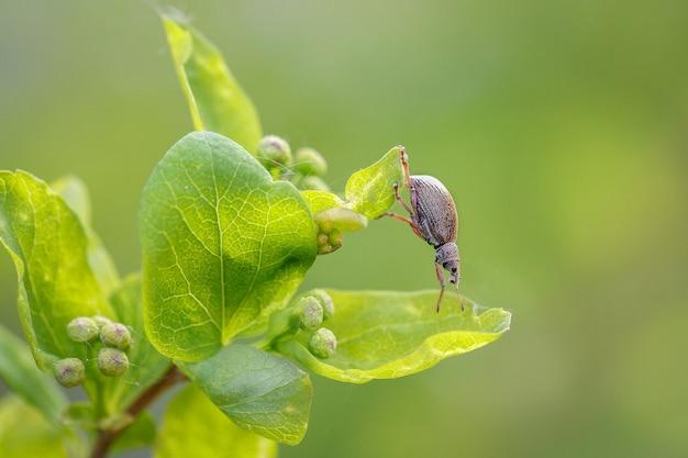 Besouro gorgulho sentado em uma folha de spirea em um jardim de primavera. pragas de plantas de jardinagem