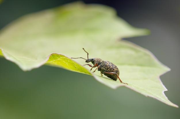 Besouro gorgulho sentado em uma folha verde em um jardim de primavera. pragas de plantas de jardinagem