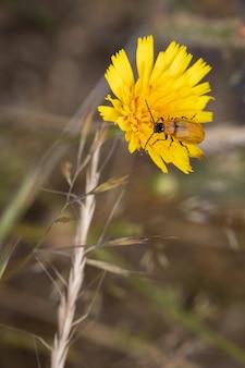 Besouro laranja em seu ambiente natural