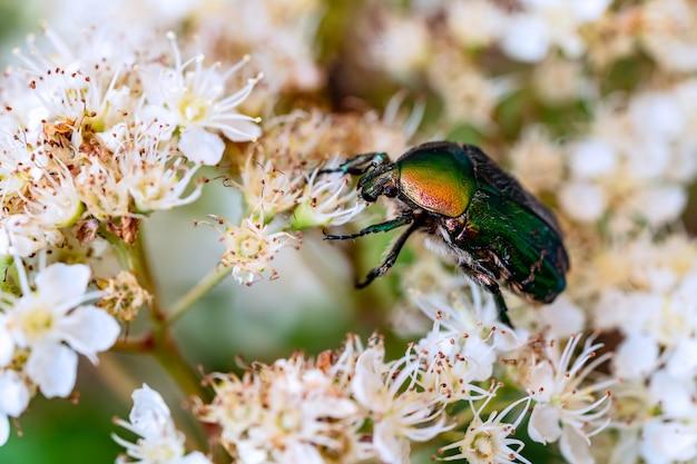 Besouro lindo verde senta-se em uma flor branca em um jardim de verão