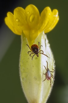 Besouro marrom e preto em flor amarela